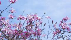Pan Right To Left Across Purple Magnolia Flowers Stock Footage