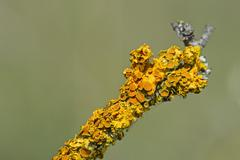Common Orange Lichen Xanthoria parietina with bowl shaped spore bearing - stock photo