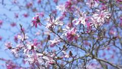 Rack Focus on Purple Magnolia Flower Branch Stock Footage