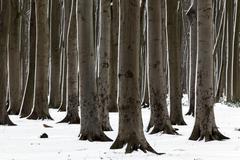 Tree trunks in the Ghost Forest or Nienhager Holz in Nienhagen - stock photo