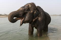 Stock Photo of Elefantenbad elephant in the East Rapti River at Sauraha Nepal Asia