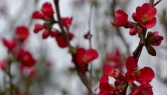 Tilt Down to Close Up Of Red Flowers (Flowering Quince) Stock Footage