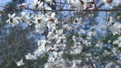 Tilt Up To Reveal White Magnolia Flowers on Branch Stock Footage