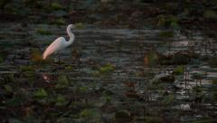 60 FPS White Crane Standing In Marsh Stock Footage