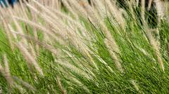 .Flowering grass during on sunset. Closeup shot - stock photo