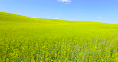 Aerial dolly flying over yellow canola flower field - stock footage