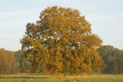 Solitary Pedunculate Oak Quercus robur in autumn in early morning light Lower - stock photo