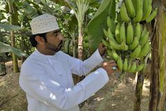 Stock Photo of Local man harvesting bananas Salalah Dhofar Region Orient Oman Asia