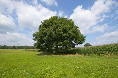 Solitary Pedunculate Oak Quercus robur in summer Lower Saxony Germany Europe Stock Photos