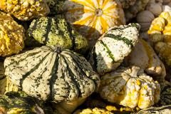 Warted Patission cucurbita pumpkin pumpkins from autumn harvest Stock Photos