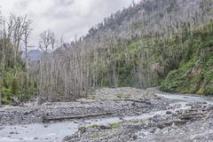 Destroyed forest by the outbreak of the Chaiten volcano near Puente los Gigios - stock photo