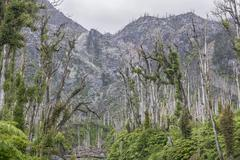 Destroyed forest by the outbreak of the Chaiten volcano near Puente los Gigios Stock Photos