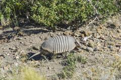 Armadillo Dasypodidae Santa Cruz Argentina South America Stock Photos