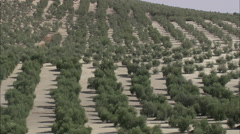 AERIAL Spain-Flight Rising Over Olive Trees - stock footage