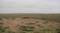 Zebras graze dry drought savannah, Samburu, Kenya safari, Africa Stock Footage