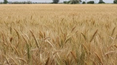 Spikelets in a wheat field swaying slowly in the wind Stock Footage