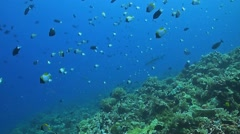 Two whitetip reef sharks on a coral reef. Stock Footage