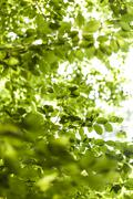 Sun shining through the green leaves on a tree - stock photo