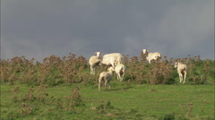 AERIAL France-Low Over Goats On Grass Mountain Stock Footage