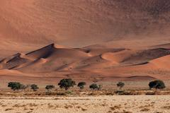 Stock Photo of Sand dunes Camel thorn trees Vachellia erioloba at the front Sossusvlei Namib