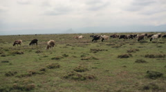 Sheep graze empty savannah, Samburu, Kenya, Africa Stock Footage