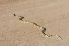 Pacific Gopher Snake Pituophis catenifer catenifer Colorado United States North Stock Photos