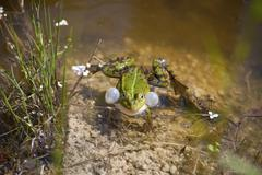 Stock Photo of Edible Frog Pelophylax esculentus Rana esculenta calling male with inflated