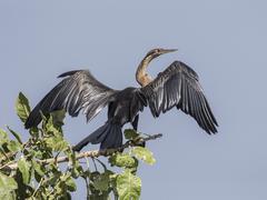 African Darter Anhinga rufa Murchinson Falls National Park Uganda Africa Stock Photos