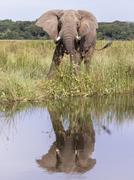 African Bush Elephant Loxodonta africana Murchinson Falls National Park Uganda Stock Photos