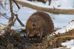 European Beaver Castor fiber foraging winter snow diurnal Middle Elbe - stock photo