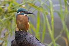 Stock Photo of Kingfisher Alcedo atthis young bird in habitat Middle Elbe Saxony Anhalt