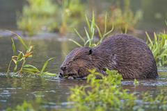 European Beaver Castor fiber foraging diurnal Middle Elbe SaxonyAnhalt - stock photo