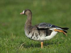 Greater white fronted goose Anser albifrons Bislicher Insel Xanten North Stock Photos