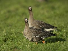 Greater white fronted geese Anser albifrons Bislicher Insel Xanten North Stock Photos