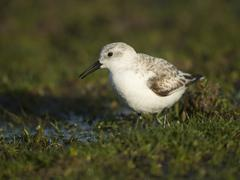 Stock Photo of Sanderling Calidris alba Texel Province of North Holland The Netherlands Europe