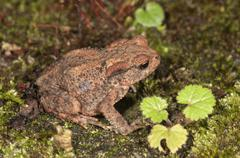 Common toad Bufo bufo yearling at nocturnal foraging BadenWurttemberg Germany - stock photo