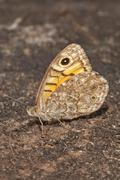 Wall Brown Lasiommata megera outer side of wings BadenWurttemberg Germany - stock photo