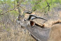 Lowland Nyala Tragelaphus angasii male Kruger National Park South Africa Africa - stock photo