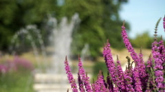Purple loosestrife, Italian Gardens, Kensington Gardens, London. Stock Footage