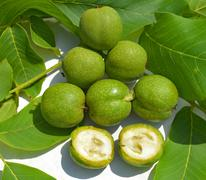Green young walnuts in husks Stock Photos