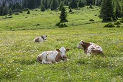 Domestic cattle lying in the grass Vallelunga PuezGeisler Nature Park Selva - stock photo