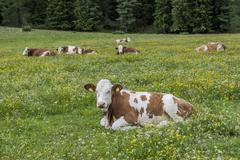 Domestic cattle lying in the grass Vallelunga Puez Nature Park Selva Val - stock photo