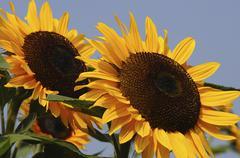 Two sunflowers Helianthus annuus Stock Photos