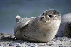 Stock Photo of Harbour Seal Phoca vitulina pup Dune Heligoland Schleswig Holstein Germany