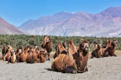 Camels in Nubra vally, Ladakh - stock photo