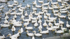 Various shots of white ducks swimming in the canal Stock Footage