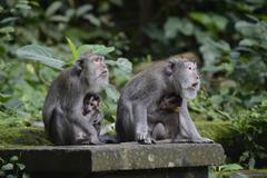 Crabeating macaques Macaca fascicularis with young in the Ubud Monkey Forest Stock Photos