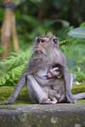 Crabeating macaque Macaca fascicularis with young in the Ubud Monkey Forest Stock Photos