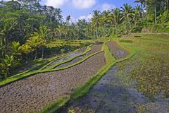 Stock Photo of Rice terraces at the Pura Gunung Kawi temple Bali Indonesia Asia