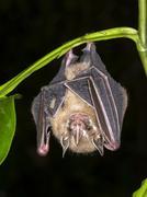 Tentmaking Bat Uroderma bilobatum hanging in a tree Costa Rica North America Kuvituskuvat